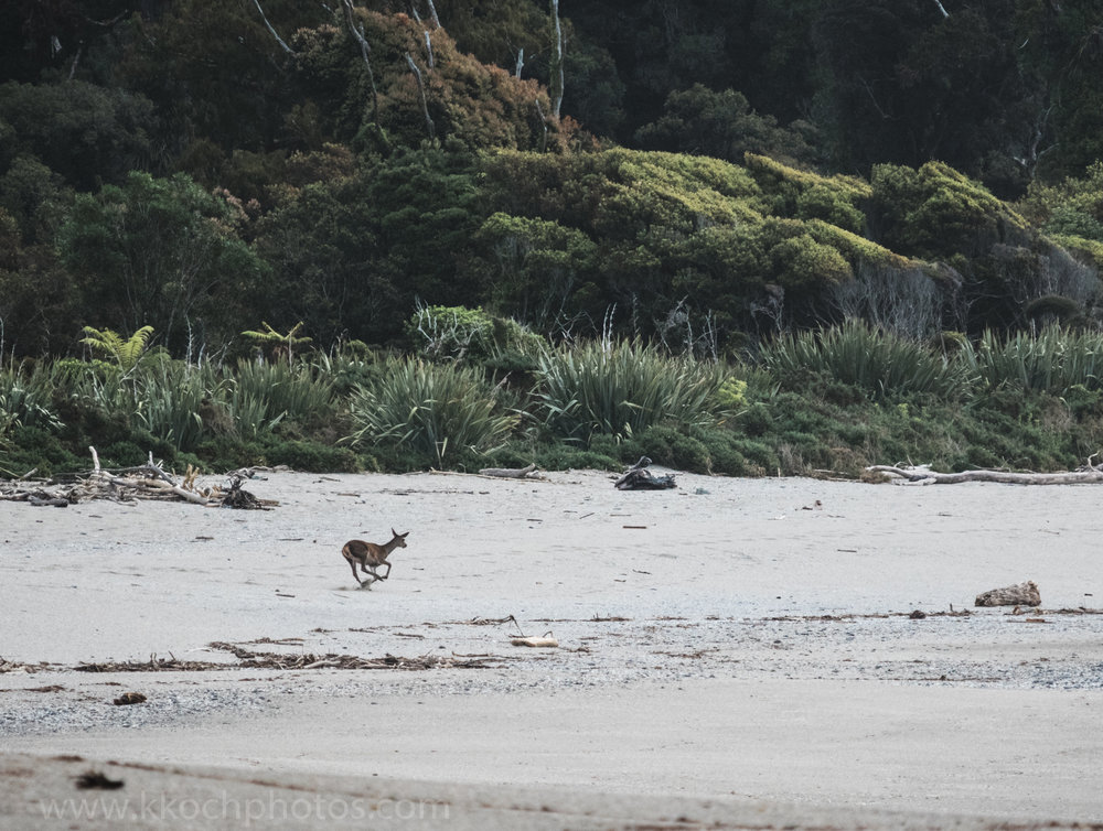 deer frolicking on the beach