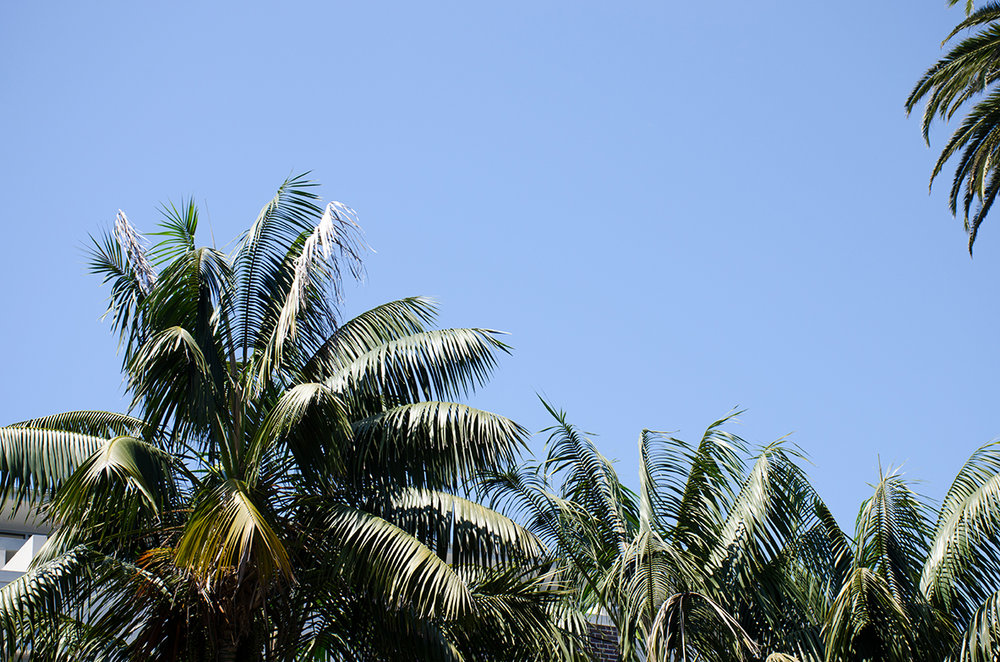 Manly Palm Trees