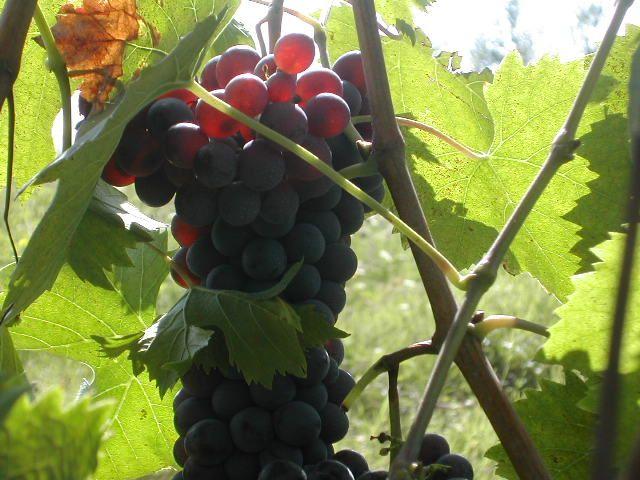 close-up grapes.jpg