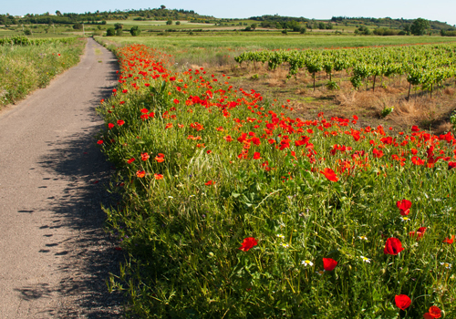 Les cocquelicots: May is poppy season!