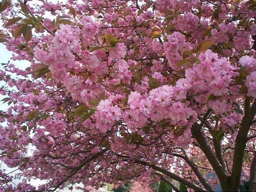 kwanza_cherry_tree.jpg