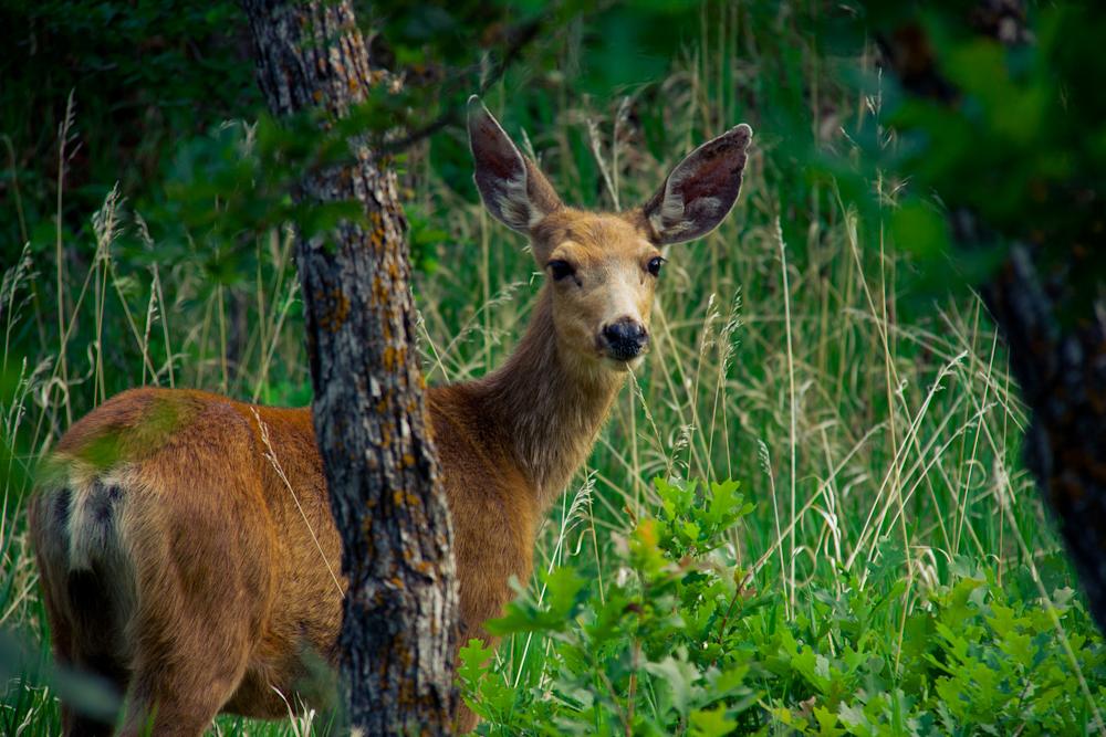 Pike deer.jpg