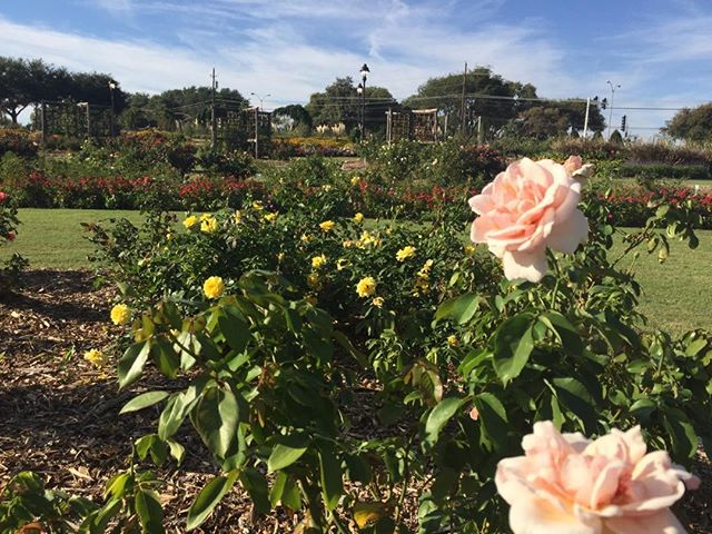 Taking time to stop and smell the roses at the Farmer's Branch Rose Garden @authorcmhealy
