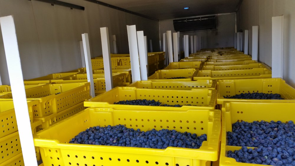 A truck full of blueberries on their way to the packing house.