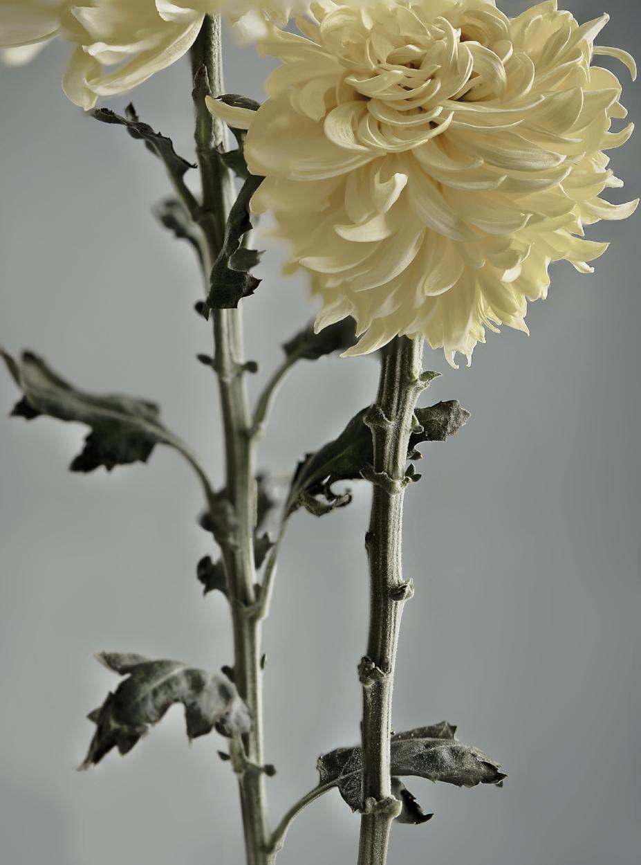 Chrysanthumum.jpg