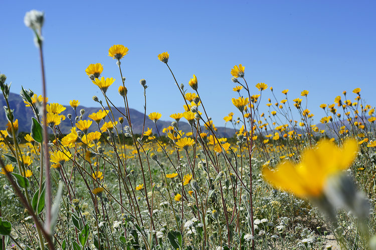Desert flowers athabold flowers mightylinksfo