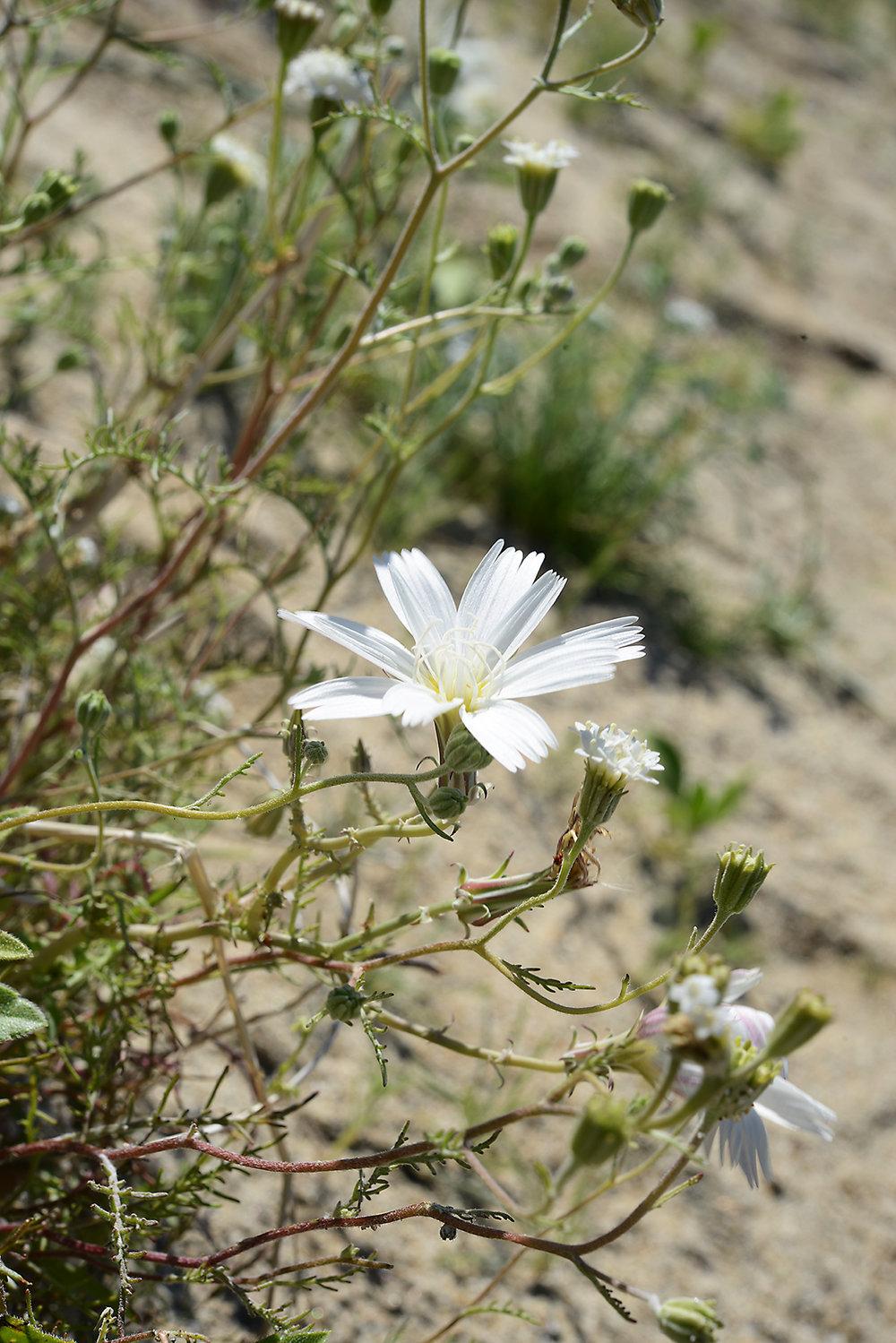 Desert Flower_1_resize.jpg