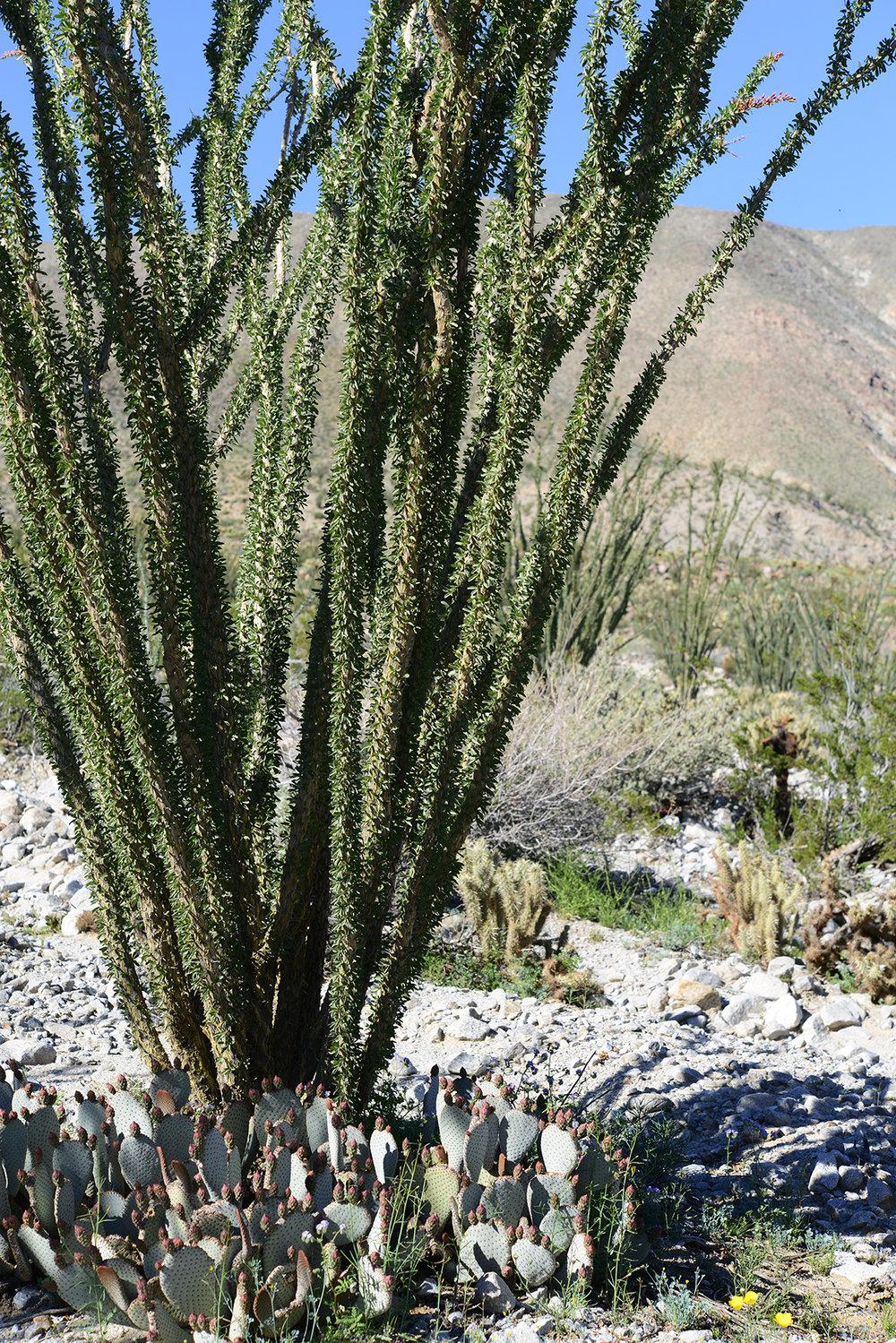 Desert Flower_4_resize.jpg