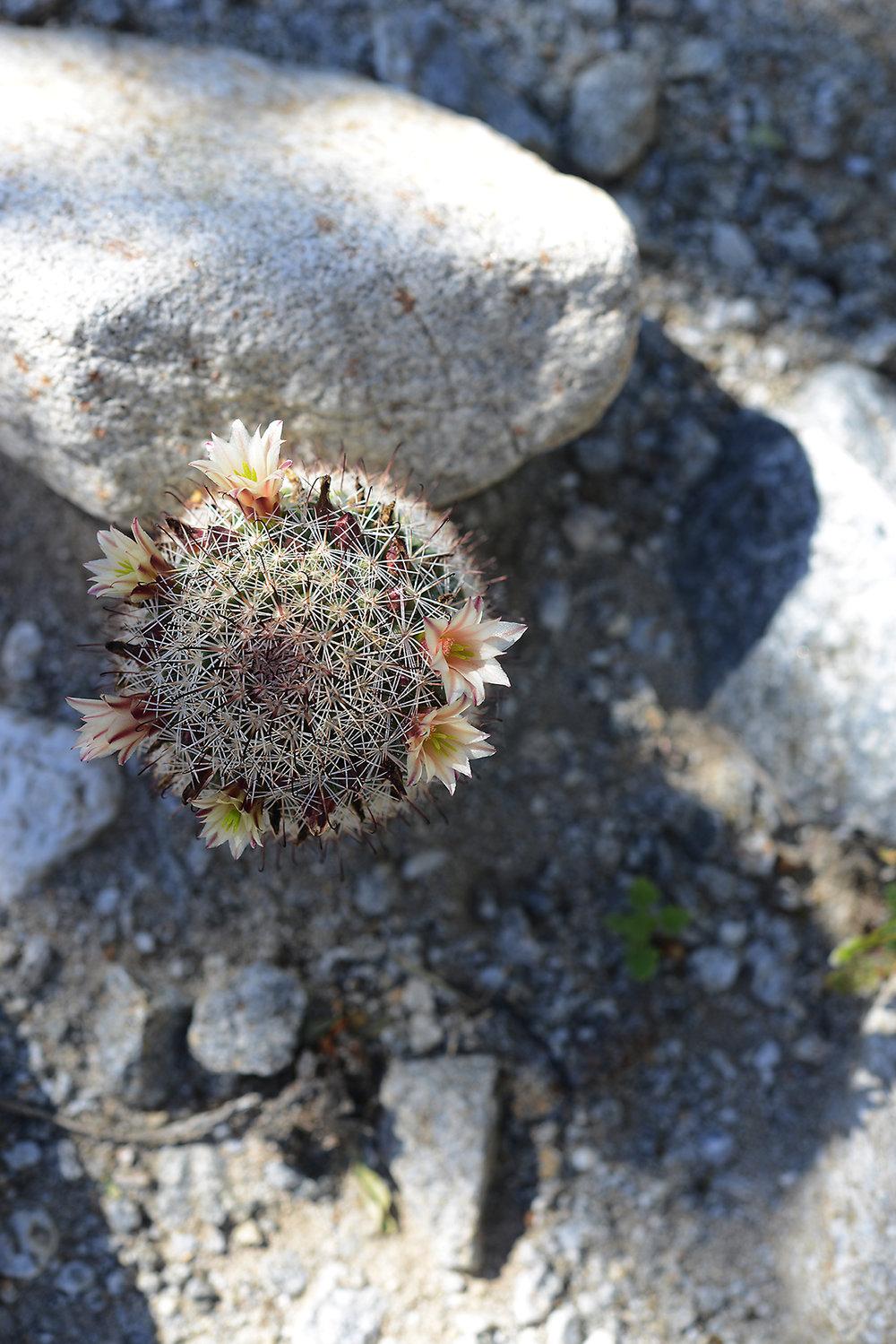 Desert Flower_6_resize.jpg