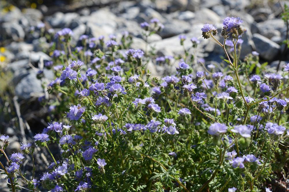 Desert Flower_7_resize.jpg