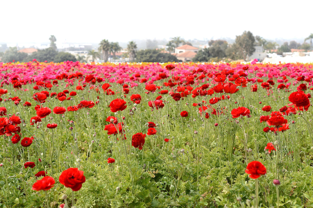 A visit to the flower fields in southern california athabold flowers ranunculus is versatile and works in just about any cut flower arrangement their soft color layered petals and curly stems create the most elegant and mightylinksfo