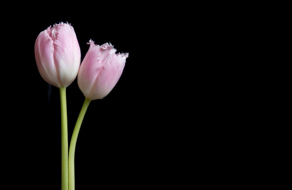 Tulip_2_retouched.jpg