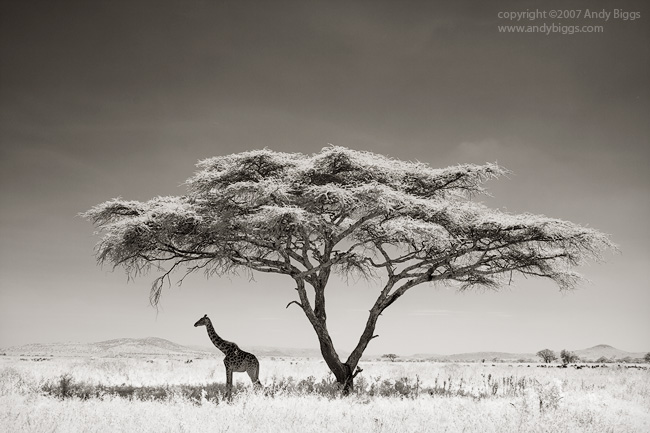 Giraffe under an acacia tree, Serengeti National Park, Tanzania.