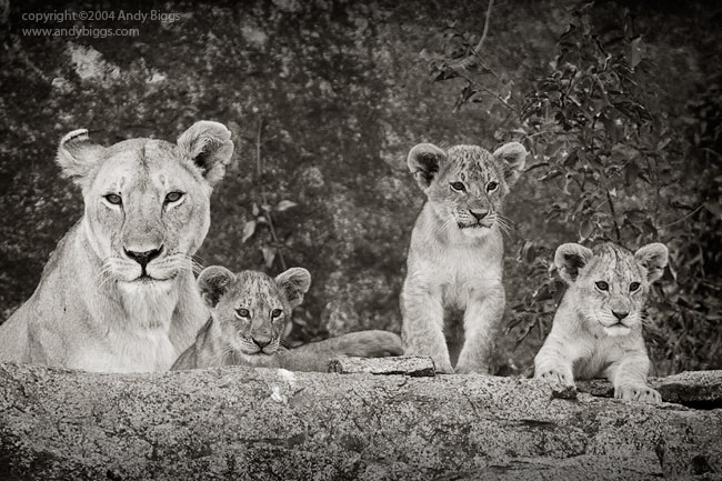 Lioness and Three Cubs, Serengeti National Park, Tanzania.