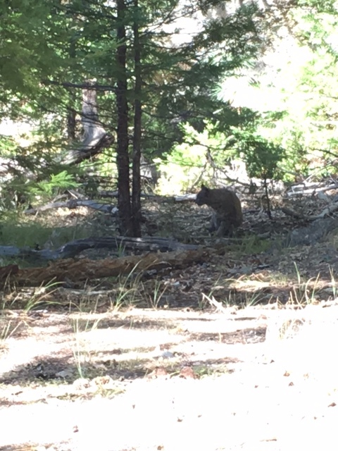 This bobcat caught the 8th graders by surprise.