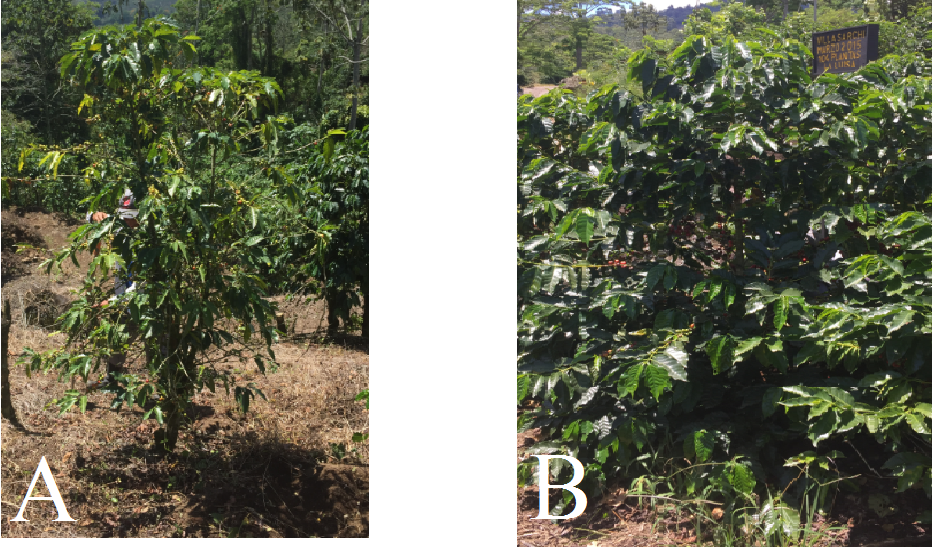 La imagen (A) muestra una planta enferma con corchosis y la imagen (B) muestra una planta sana