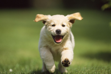 golden-retriever-dog-puppy-running-towards-camera.jpg
