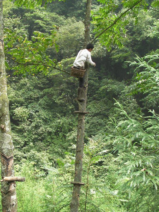 木に直接、杭を打ちつけてあり、高い所まで登ります