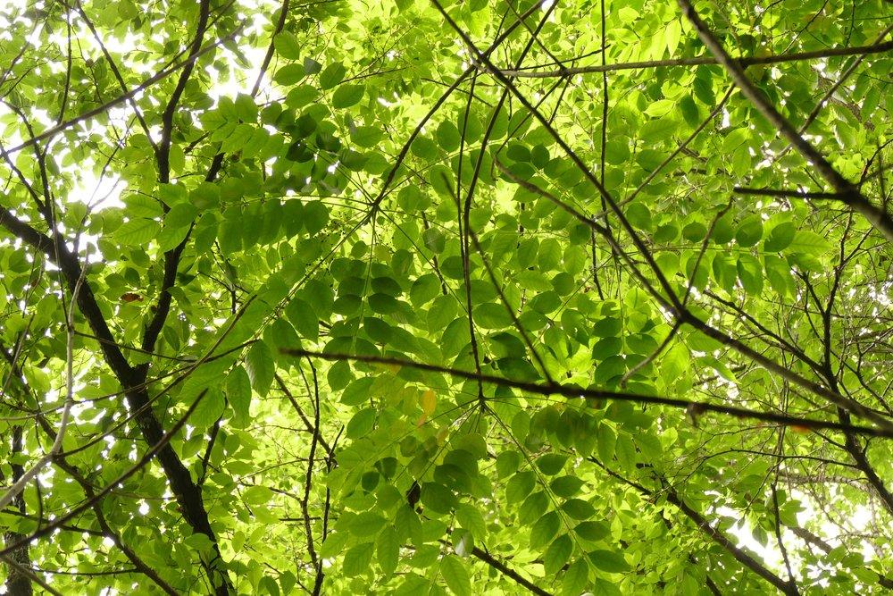 葉は日本のものより小ぶり
