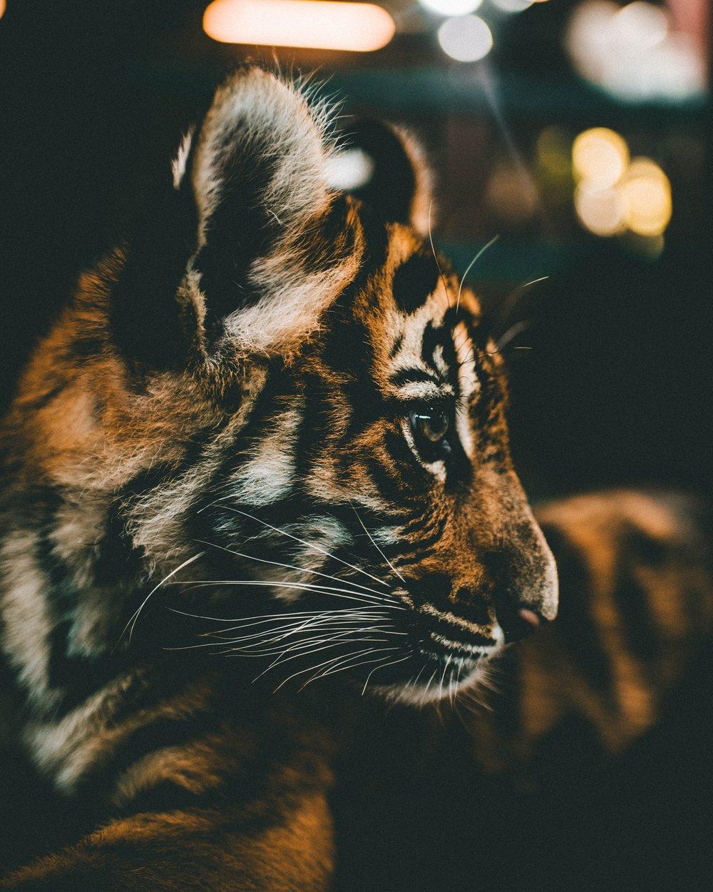 Agape-A-Tiger's-Tale.jpg