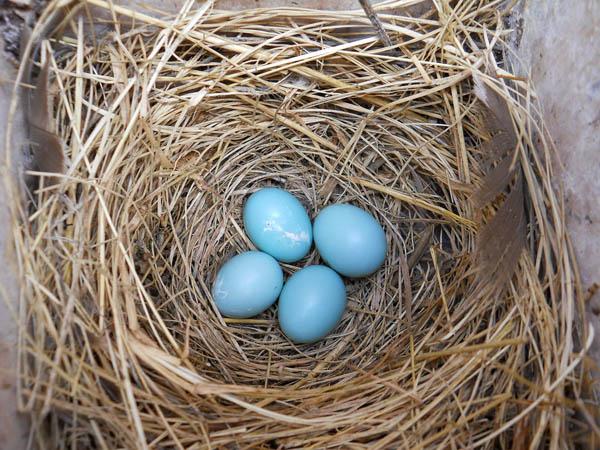 bluebird-eggs_USFWS2.jpg