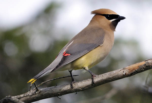 cedar-waxwing_Bill-Thompson_USFWS.jpg