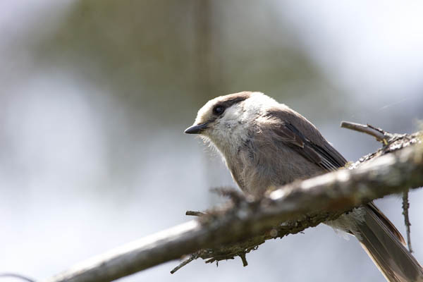 gray-jay_Ryan-Hagerty_USFWS.jpg