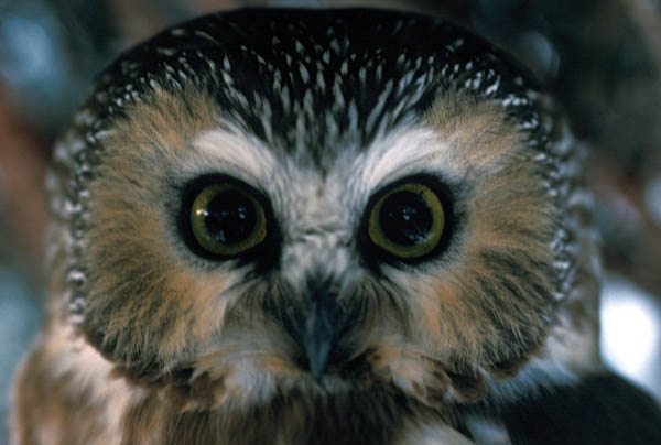 Northern-saw-whet_owl_David-Darney_USFWS.jpg