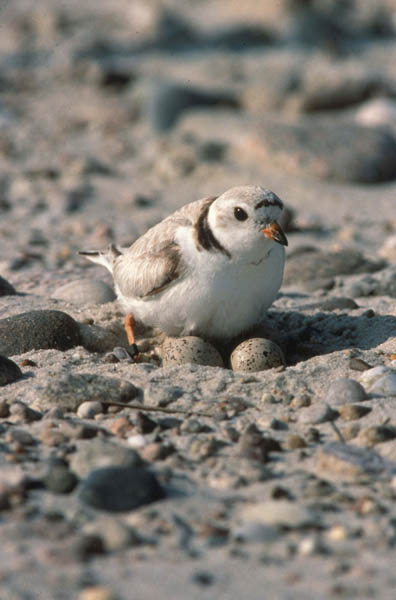 piping-plover_Bill-Byrne_USFWS2.jpg