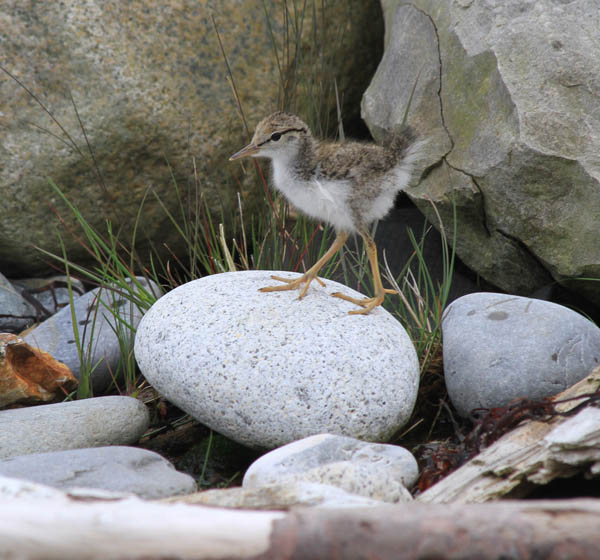 spotted-sandpiper-chick_Brette-Soucie_USFWS2.jpg