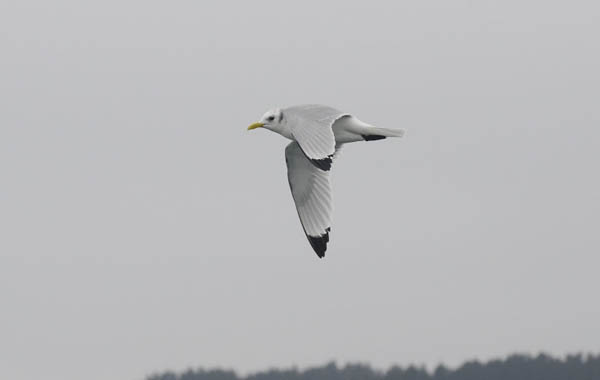 winter-kittiwake_Chris-Bartlett2.jpg
