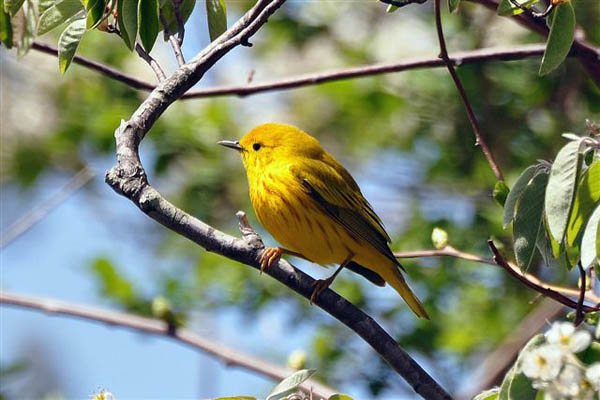yellow-warbler_Tom-Tetzner_USFWS2.jpg