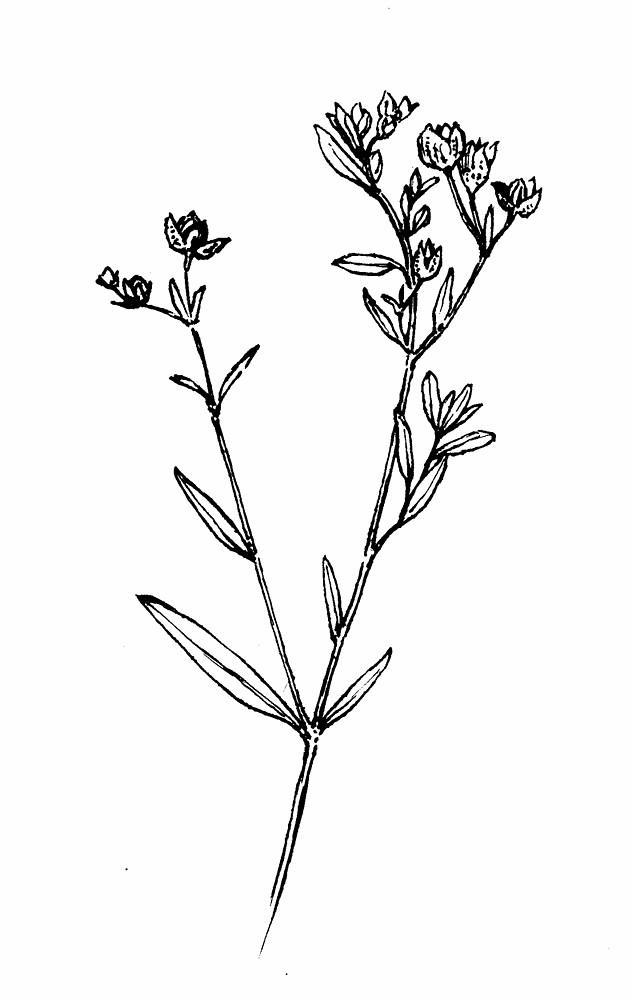 crocanthemum-bicknellii-fl-gmorrison.jpg