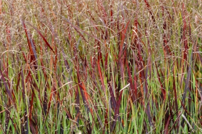 Panicum 'Blood Brothers'