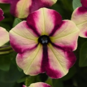 petunia 3.jpg