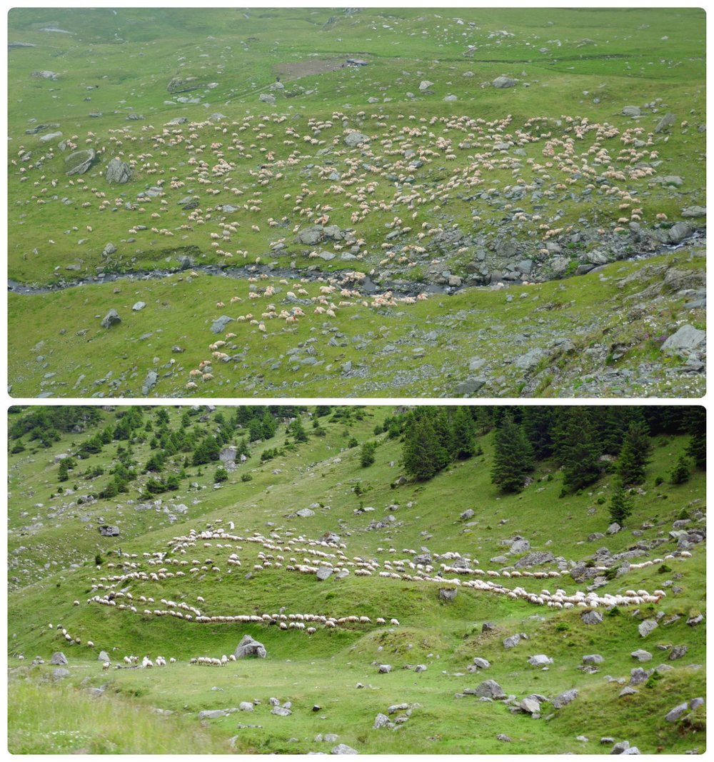 We saw several flocks of sheep being herded along the mountain sides on our Transfagarasan Highway road trip.