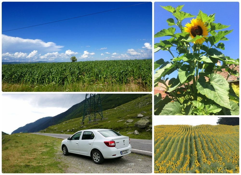 Clockwise (from the top): Cornfields went for what seemed like miles, sunflowers were very common in Romania, a field of sunflowers, Dacia vehicles are manufactured in a nearby city making it a surprisingly fitting rental car for the drive!