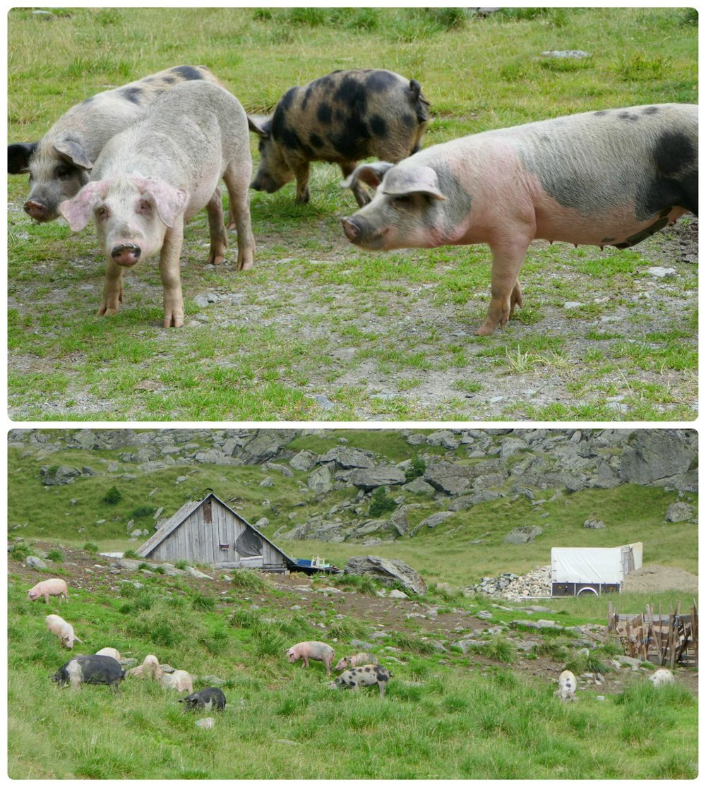 What better way than to end our road trip with the pigs we saw at the bottom of the mountains. They were on the side of the road and you could walk right up to them!