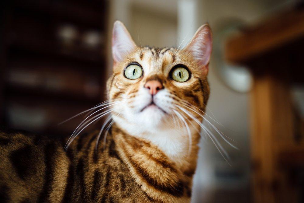 alert cat staring