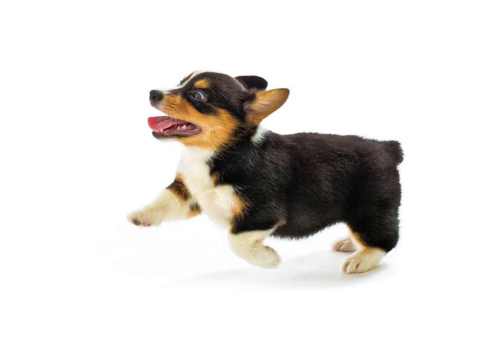 jumping puppy, Photo by YinYang/iStock / Getty Images