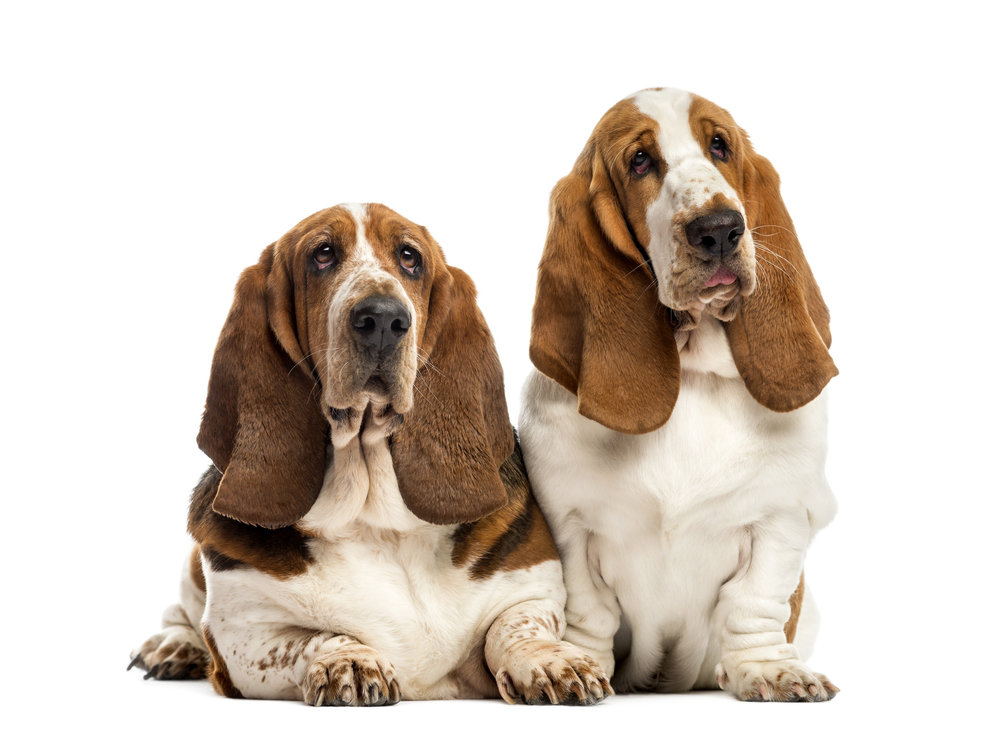 two bloodhounds, Photo by GlobalP/iStock / Getty Images