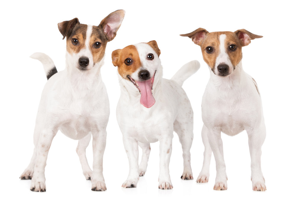 three jack russell terriers, Photo by onetouchspark/iStock / Getty Images