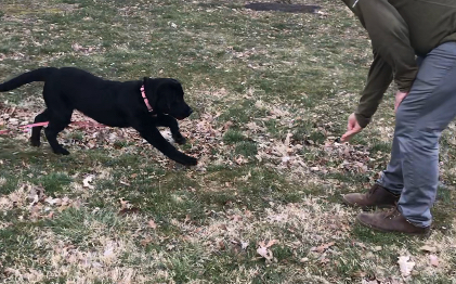 Transfer Session (1x/week) - Naomi teaches you how to use, practice, and improve your dog's new skills. It's much simpler than doing it yourself since he's already got the foundations down!