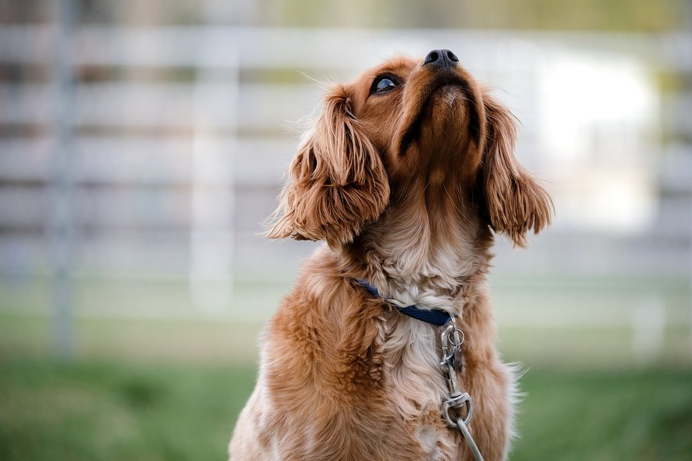 Alternate behavior option: Teach your dog to give you attention instead of barking or pulling towards a distraction or something he is scared of.