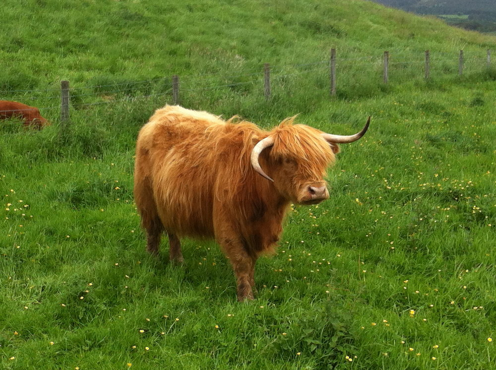 "A Highland ""Coo"" in Scotland, near Loch Ness."