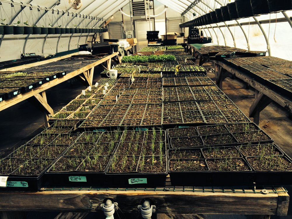 Vineyard Gardens greenhouse: Our germination process of cool weather crops.