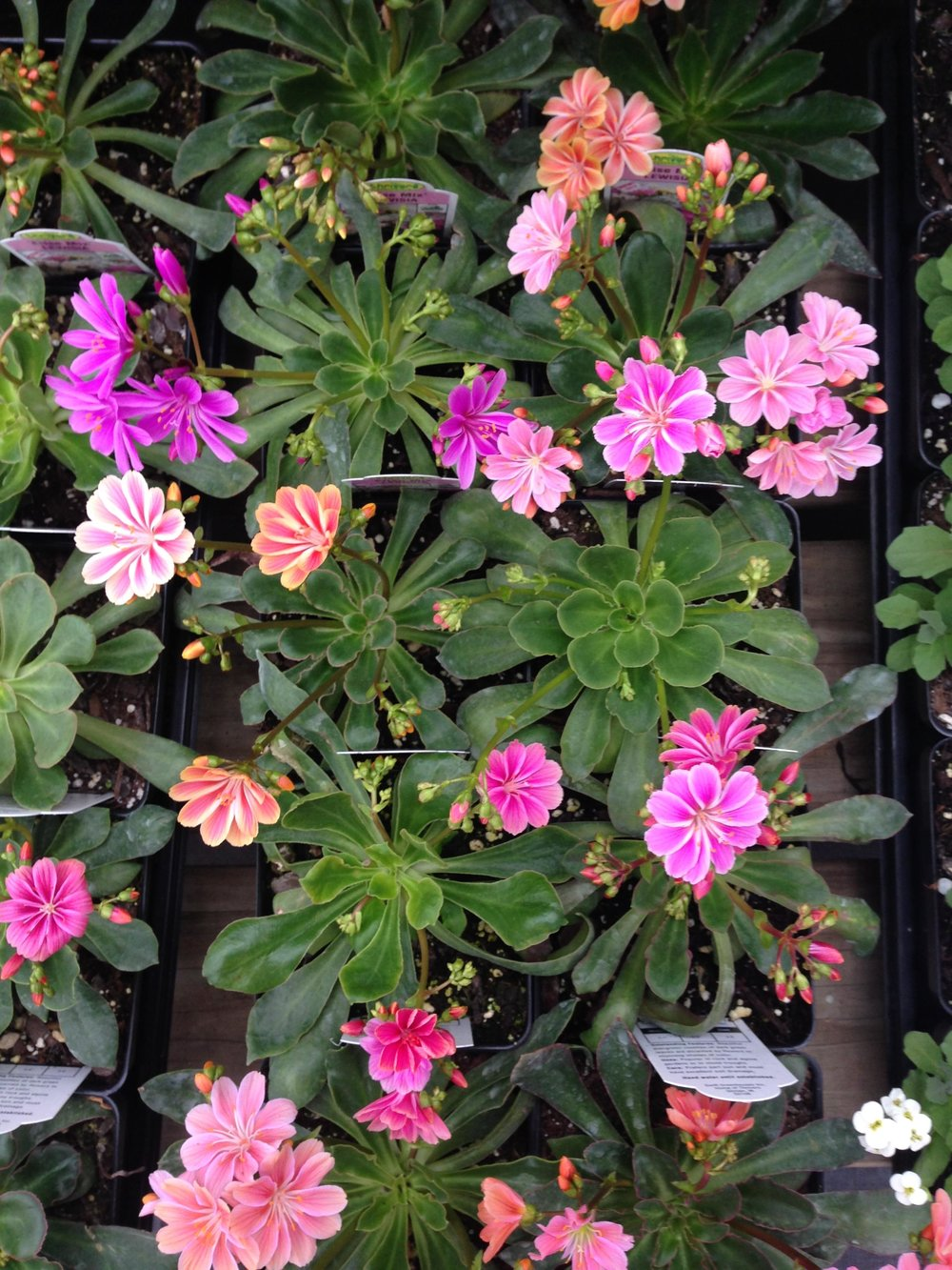 Lewisia cotyledon common name, 'Cliff Maids'