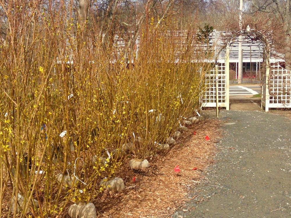 Forsythia 'Linwood Gold'