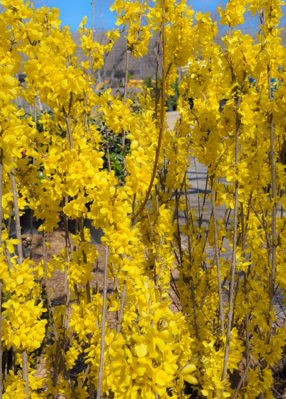 Forsythia 'Lynwood Gold'