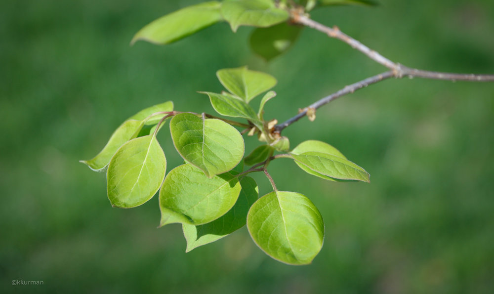 JAPANESE TREE LILAC,Syringa reticulata